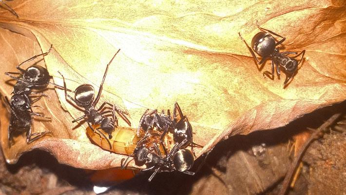 Polyrachis Dives (Aziatische Wever-mieren)