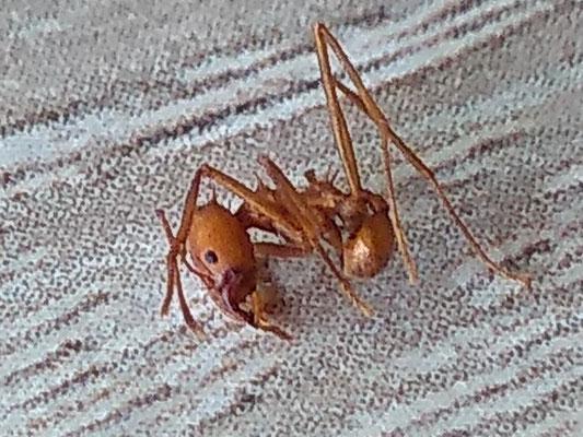 Atta Sexdens (Bladsnijder-mieren)