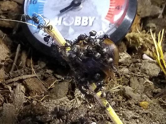 Polyrachis Dives (Aziatische wever-mier)