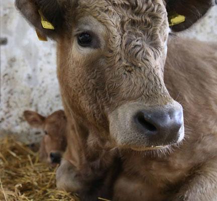 Lilo groß im Bild, hinter ihr schaut das neugeborene Kälbchen Lotte hervor