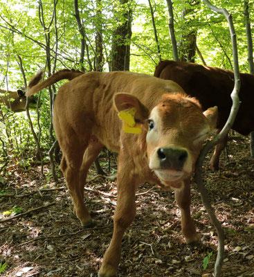 Linda, Spitzname Muhki, als Kälb im Wald. Sie kratzt sich das Auge an einem dünnen Baum