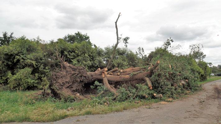 """""""  Des arbres immenses n'ont pas résisté à la force des éléments  """" cliché réalisé par Laurent"""
