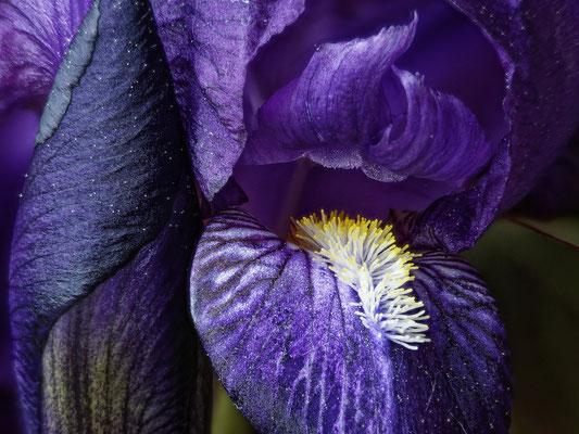 """""""Iris""""  essai de focus stacking avec """"Phoshop""""   réalisé par Joël"""