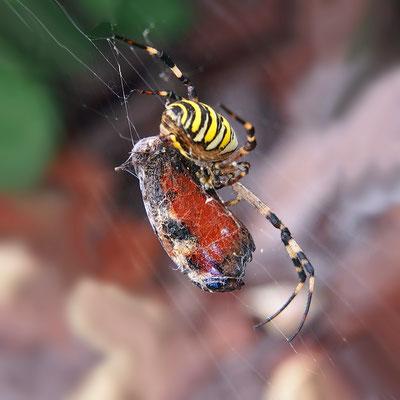 """""""Le festin de l' araignée""""  cliché réalisé  par  Joël"""