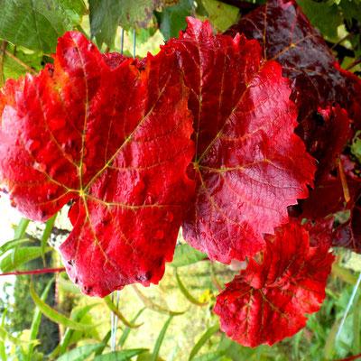 """""""Rouge vigne""""   par  Laurence"""