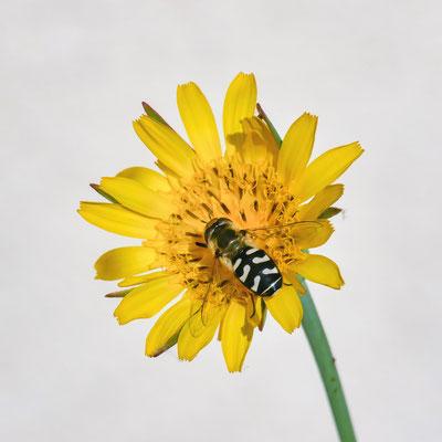 """""""enfin l'atterrissage! (une butineuse de fleur de salsifis)""""  cliché réalisé par  Dominique"""