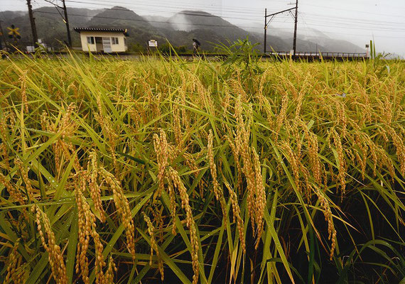 準特選 無人駅を濡らす「豊穣の雨」 川崎賢成