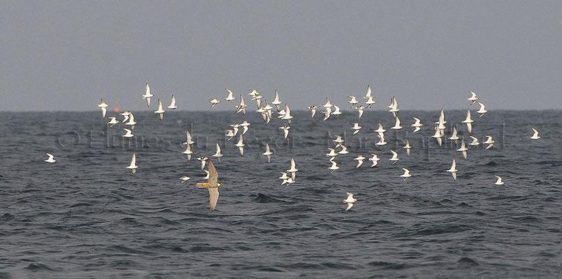 Faucon hobereau en chasse sur un groupe de limicoles