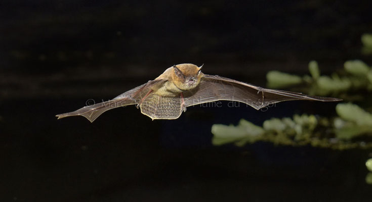 Pipistrelle commune