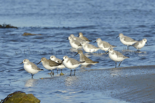 Bécasseaux sanderlings et variables
