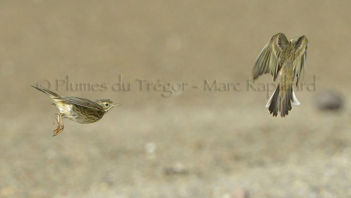 Pipits farlouses