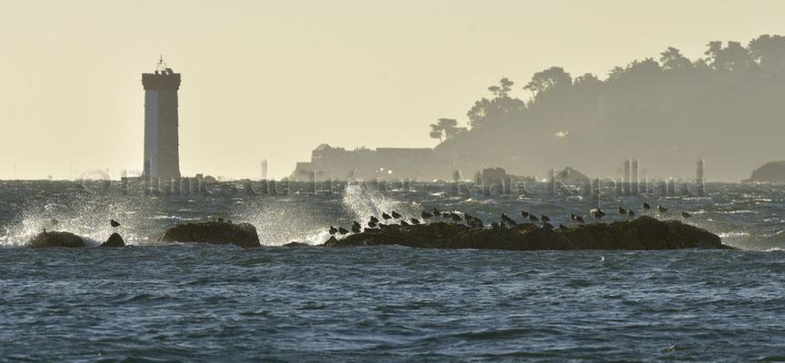 Courlis en contre-jour devant le phare de la Croix dans l'estuaire du Trieux (22)