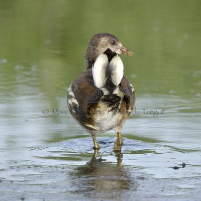 Galinulle poule d'eau