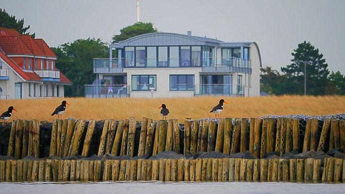 Austernfischer vor der Ferienwohnung Küstentraum