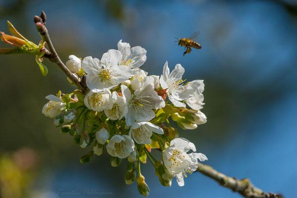 Kirschblüten mit fleißigem Bienchen