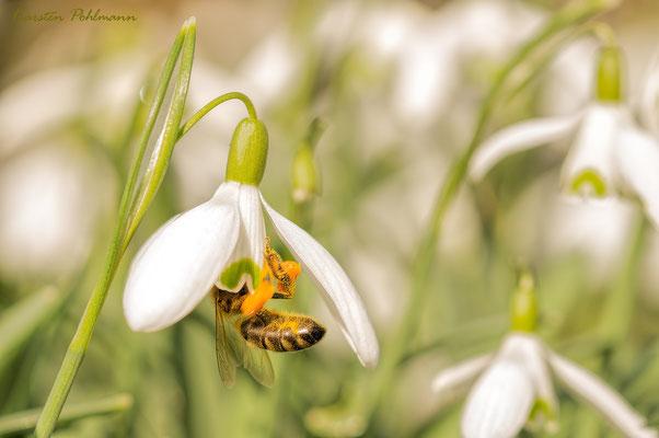 Biene im Schneeglöckchen
