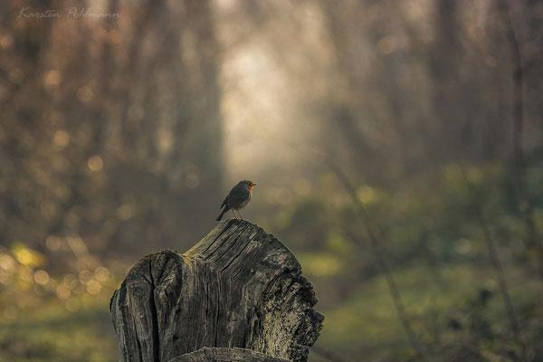 Ein einsames Rotkehlchen