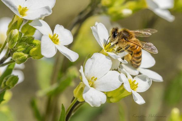 Die fleißige Biene