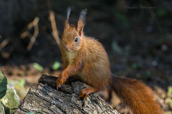 Eichhörnchen auf Baumstamm