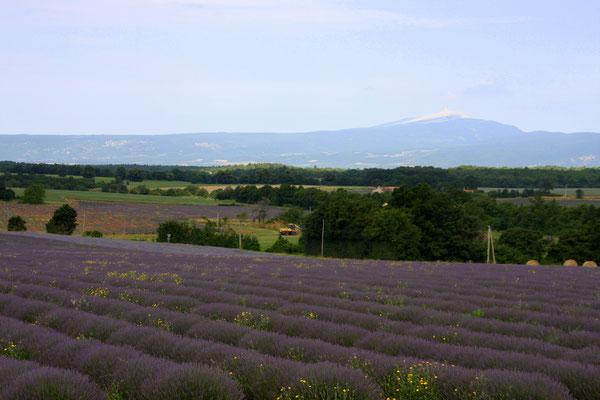 Bild: Lavendelroute hier auf dem Plateau bei Sault
