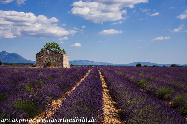 Bild: Lavendeltour hier auf dem Plateau Valensole