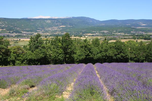 Bild: Lavendeltour hier Lavendelfelder bei Sault