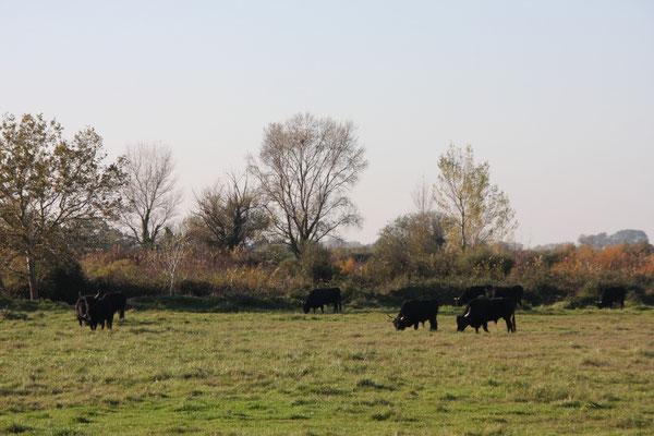 Bild: Die schwarzen Stiere der Camargue