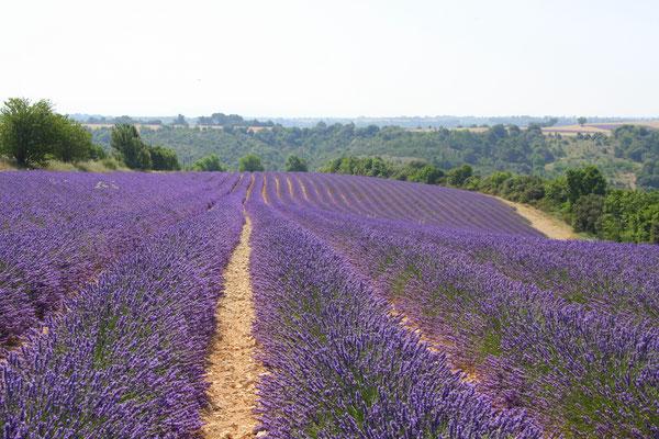 Bild: Lavendeltour hier bei Valensole
