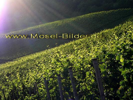 Abendsonne in der Weinlage Piesporter Falkenberg