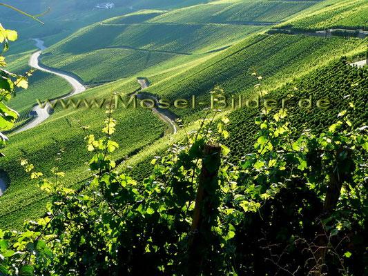 Blick auf die Weinlage Piesporter Goldtröpfchen