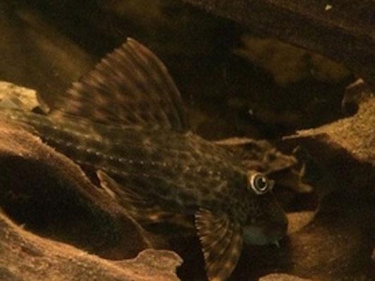 Cochliodon sp. L229
