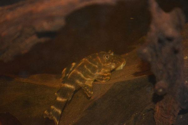 Panaquolus sp. L104