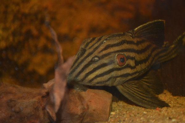 Panaque nigrolineatus L190