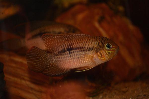 Andinoacara biseriatus