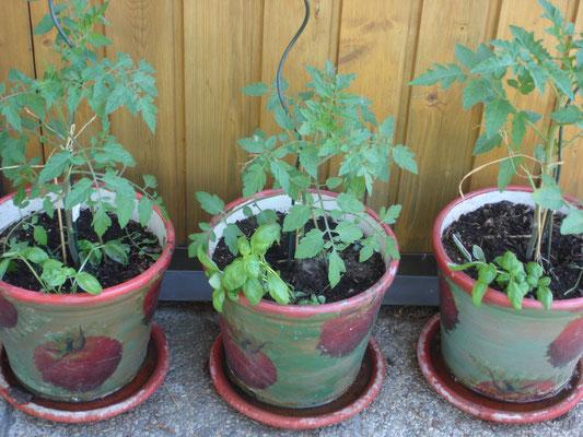 Tomaten-aufgereiht