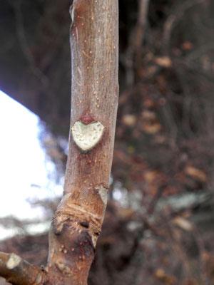 herzförmige Blattnarbe vom Götterbaum
