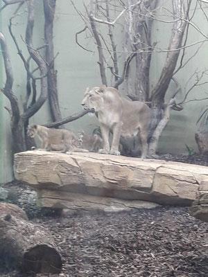 Löwenmutter mit  ihrem Nachwuchs