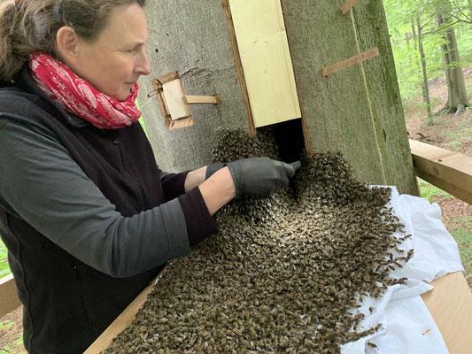 Einlauf des Bienenvolkes durch die Arbeitsöffnung. Auch die Königin wird gefunden. Sie erscheint uns klein und schlank. Die Flügel sind stark beschädigt.