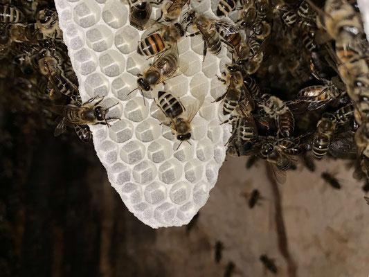 20. Mai: Ganz frisches Wabenwerk. Ohne Rauch ist es dicht mit Bienen besetzt und kaum sichtbar. Erst mit Rauch geben sie den Blick kurz frei.