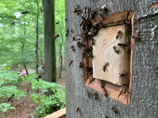 9. Mai: Es wird wärmer und damit steigt auch der Flugbetrieb am Flugloch. Erstmals sind Bienen mit Pollenhöschen zu beobachten .