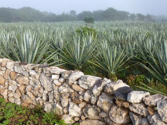 champs d'agave (ou hennequen)