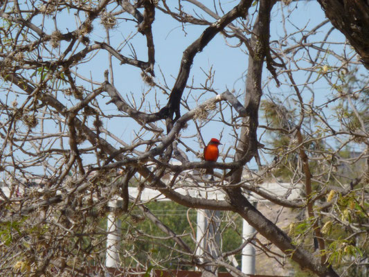 L'oiseau rouge de Mitla