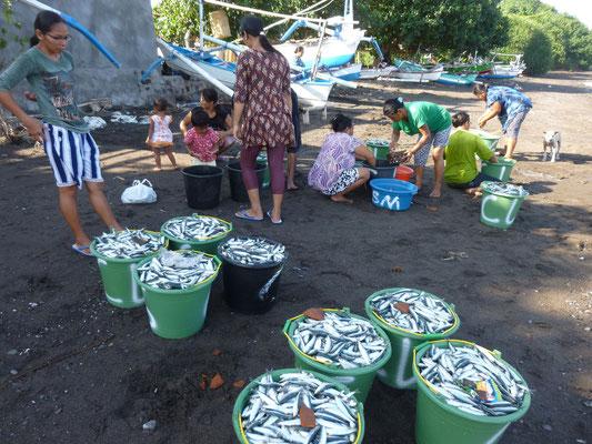 retour de pêche sur la plage de Lovina