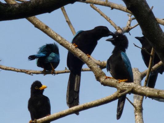 Les oiseaux de Tulum