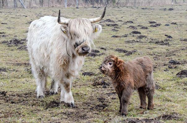Schottische Hochlandrinder auf einer Weide