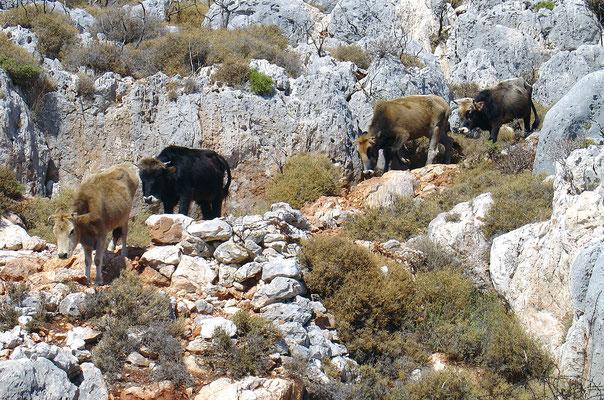 Auf Ziegen- bzw. Rinderpfaden werden die Berge erklommen