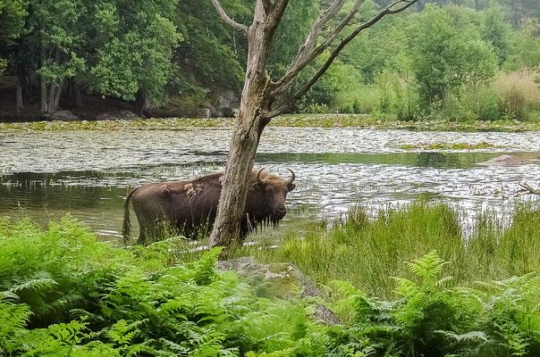Wisent im Wild- und Naturpark Eriksberg