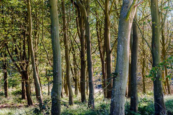 Plantage beim Hanstholm Wildreservat