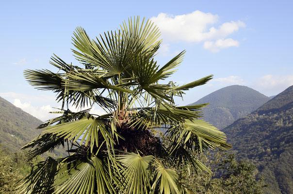Palmen gedeihen gut im Valle Cannobina
