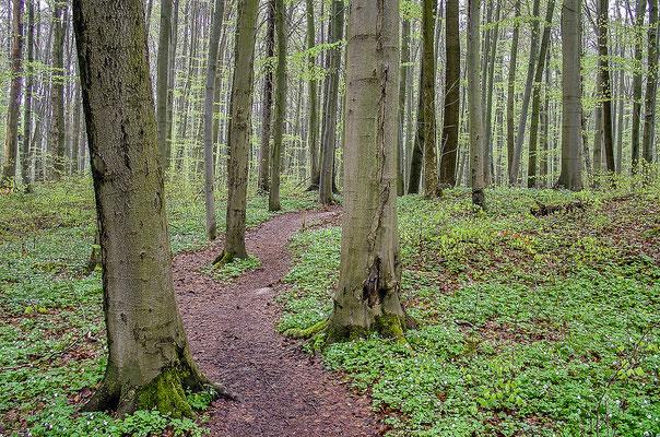 Verschlungene Pfade führen durch einen Urwald aus Buchen